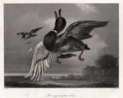 William French (1815-1898), Die angeschossene Ente, Stahlstich nach G. Lance, D2426-1